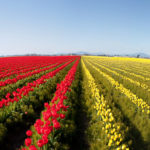 The Skagit Valley Tulip Festival Is Heaven On Earth